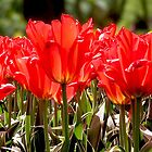 Red Tulips by Anne-Marie Bokslag