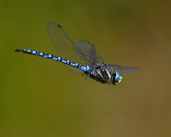 Dragonfly in Flight by William C. Gladish