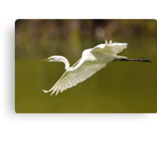 Great White Egret in Flight Canvas Print