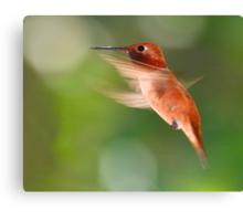 Rufous Hummingbird in Flight Canvas Print