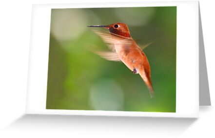 Rufous Hummingbird in Flight by William C. Gladish
