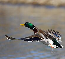 Mallard in Flight by William C. Gladish