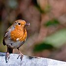 Robin by Marloag