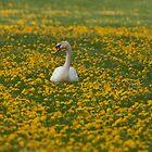Mute Swan by Minne