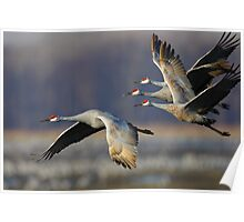 Sandhill Cranes in Flight Poster