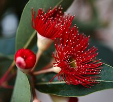 Red Flowering Gum by ivanwillsau