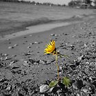 Kansas Sunflower by GretchenColon