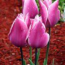Tulips by Lori Walton