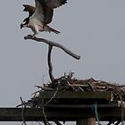 osprey - another view by marianne troia