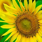 Refreshing Sunflowers by Mukesh Srivastava