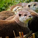 Family of otters........ by jdmphotography