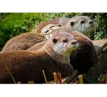 Family of otters........ Photographic Print