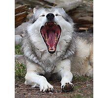 Wolf Yawning Photographic Print