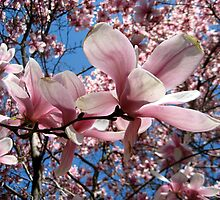 My Magnolia 2 by Marita McVeigh