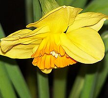 Bowing Daffodil by Jonice