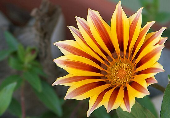 Close Up Tiger Gazania in Red, Gold and Green by taiche