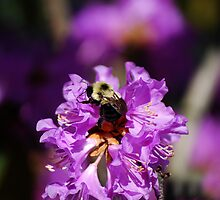 Bumble Bee On An Azalea Bush  by Angela Lance