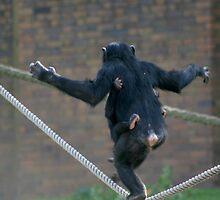 Tightrope walking chimpanzee by klphotographics