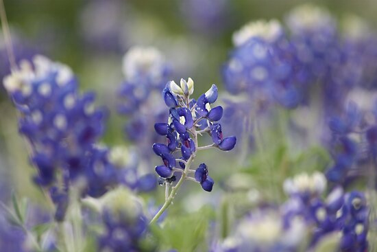 Blue Bonnets by Olivia Moore