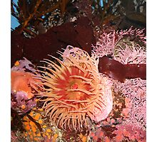 Pink Anenome Photographic Print