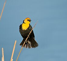 Yellow-Headed Blackbird by Gary Lengyel