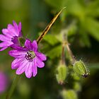 Dove's-foot Crane's-bill by Karen Millard