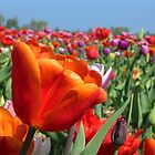 Rainbow Tulip Field by ienemien