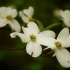 Dogwoods of NC by Sandy Woolard
