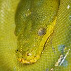 Australian Green Python by Steve Bullock