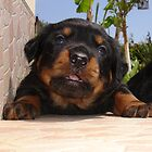 Paws for Thought: Rottweiler Puppy. by taiche