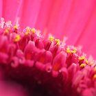Pink gerbera by Sara Hazeldine