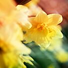 Daffodil  by Mena Assaily