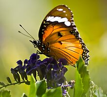 Hypolimnas Misippus - Common Diadem (female) by RatManDude