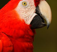 Scarlet Macaw Portrait by William C. Gladish