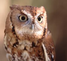 Screech Owl Portrait by William C. Gladish