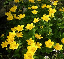 Marsh Marigolds by Lindamell