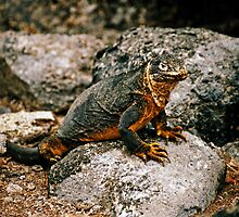 Land Iguana - Galapagos Islands by Derek  Rogers