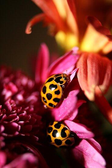 Ladybird Bliss by Steve Chapple