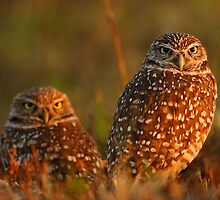 Burrowing Owl Couple at Sunset by William C. Gladish