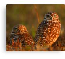 Burrowing Owl Couple at Sunset Canvas Print