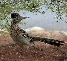 Roadrunner by noffi