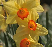 dafodils by Tony Kemp