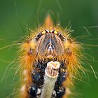Drinker Moth Caterpiller by Nic Relton
