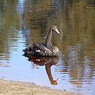 Wards Creek Swan by Graham Mewburn