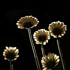 Daisy in Light by terrebo