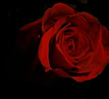 One Red Rose by terrebo