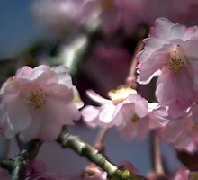 Weeping Cherry by Mark Wuttke