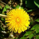 042509-26  JUST A DANDYLION by MICKSPIXPHOTOS
