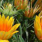 Close Up Of Flowering Gazania In A Garden by taiche