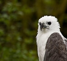 White-bellied sea eagle by tarnyacox